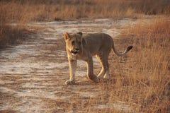Młoda lwica na sawannie, południowy Africa Zdjęcia Stock