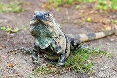 Młoda męska Amerykańska iguana - iguany iguana Obrazy Stock