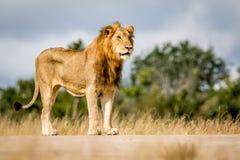 Młoda męska lew pozycja, patrzeć i Obrazy Royalty Free