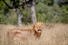 Młoda męska lew pozycja w wysokiej trawie Zdjęcia Stock