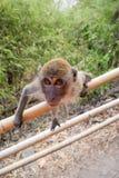 Młoda makak małpa Zdjęcie Royalty Free