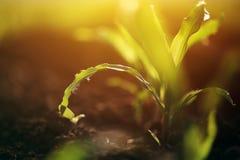 Młoda narastająca kukurydzana kukurydzy uprawy roślina Zdjęcia Royalty Free