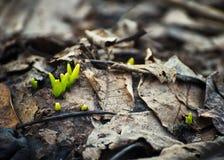 Młoda narastająca zielona trawa przez starego brązu opuszcza w wiośnie zdjęcie royalty free
