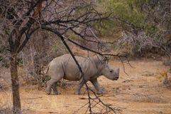 Młoda nosorożec w Pilanesberg parku narodowym, Południowa Afryka Zdjęcie Stock