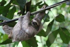 Młoda opieszałość, Costa Rica Obrazy Stock