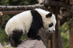 Młoda panda zdjęcie stock