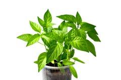 Młoda papryki roślina odizolowywająca Fotografia Stock