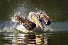 Młoda pelikana chełbotania woda na staw powierzchni Obraz Royalty Free