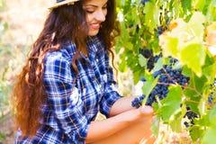 Młoda piękna kobieta zbiera winogrona w winnicy podczas harve Zdjęcia Stock