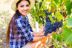 Młoda piękna kobieta zbiera winogrona w winnicy podczas harve Zdjęcia Royalty Free