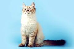 Młoda piękna kota trakenu Neva maskarada na błękitnym tle ja obrazy royalty free