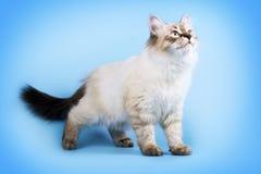 Młoda piękna kota trakenu Neva maskarada na błękitnym tle ja zdjęcia stock