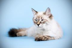 Młoda piękna kota trakenu Neva maskarada na błękitnym tle ja obrazy stock