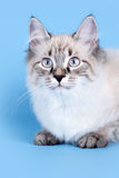 Młoda piękna kota trakenu Neva maskarada na błękitnym tle ja zdjęcia royalty free