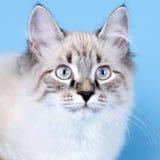 Młoda piękna kota trakenu Neva maskarada na błękitnym tle ja obraz stock