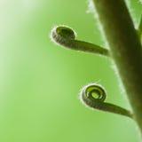 Młoda piękna spirala zielona palma opuszcza zakończenie obraz stock