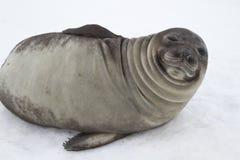 Młoda południowa słoń foka która patrzeje zezowanie Zdjęcie Stock