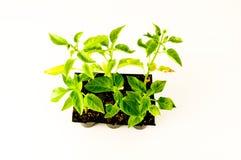 Młoda pomidorowa roślina obraz stock