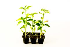 Młoda pomidorowa roślina obrazy royalty free