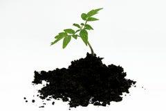 Młoda pomidorowa roślina i ziemia odizolowywający na bielu Zdjęcia Stock