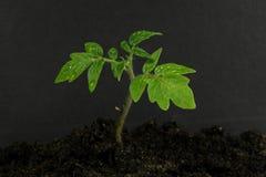 Młoda pomidorowa roślina i ziemia Zdjęcia Royalty Free