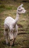 Młoda pozbawiona biała lama Zdjęcie Royalty Free