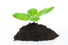 Młoda roślina Obrazy Stock