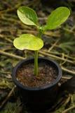Młoda roślina Fotografia Stock