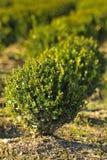 Młoda roślina r w pepinierze Fotografia Royalty Free