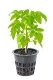 Młoda rozsada świezi zieleni pomidory w kwiatu garnku odizolowywają Fotografia Royalty Free