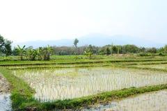 Młoda ryżowa roślina w ryżu polu Obraz Stock