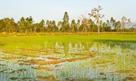 Młoda ryżowa rozsada Obrazy Royalty Free