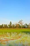 Młoda ryżowa rozsada Obrazy Stock