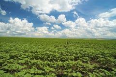 młoda słonecznikowa plantacja Zdjęcia Royalty Free