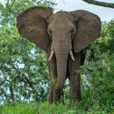 Młoda słonia byka łasowania trawa w wczesnego poranku świetle Obrazy Stock