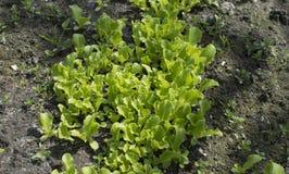 Młoda sałata kiełkuje dorośnięcie w ogródzie Zdjęcia Stock