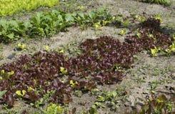 Młoda sałata kiełkuje dorośnięcie w ogródzie Zdjęcia Royalty Free