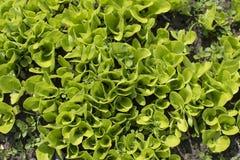 Młoda sałata kiełkuje dorośnięcie w ogródzie Sałatkowy dorośnięcie Obraz Stock