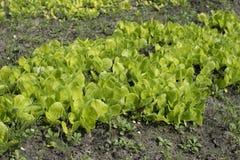 Młoda sałata kiełkuje dorośnięcie w ogródzie Sałatkowy dorośnięcie Zdjęcia Royalty Free