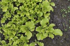 Młoda sałata kiełkuje dorośnięcie w ogródzie Sałatkowy dorośnięcie Obrazy Stock