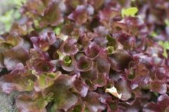 Młoda sałata kiełkuje dorośnięcie w ogródzie Sałatkowy dorośnięcie Fotografia Stock