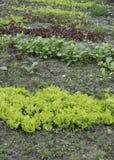Młoda sałata kiełkuje dorośnięcie w ogródzie Sałatkowy dorośnięcie Zdjęcie Stock