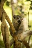 Młoda samiec Koronująca lemur, Eulemur coronatus siedzi na gałąź i liże jego łapy, Ankarana rezerwa, Madagascar Obrazy Stock