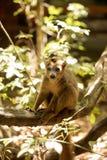Młoda samiec Koronująca lemur, Eulemur coronatus siedzi na gałąź i liże jego łapy, Ankarana rezerwa, Madagascar Zdjęcie Royalty Free