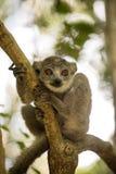Młoda samiec Koronująca lemur, Eulemur coronatus siedzi na gałąź i liże jego łapy, Ankarana rezerwa, Madagascar Zdjęcia Royalty Free