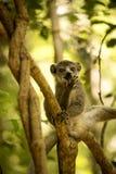 Młoda samiec Koronująca lemur, Eulemur coronatus siedzi na gałąź i liże jego łapy, Ankarana rezerwa, Madagascar Zdjęcie Stock