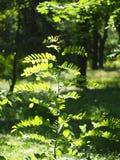 Młoda sapling akacja, iluminujący jaskrawy słońce zdjęcie stock