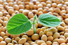 Młoda soi roślina, kiełkuje od soj ziaren Zdjęcia Royalty Free