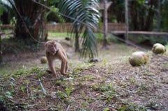 młoda sowizdrzalska małpa Obrazy Royalty Free