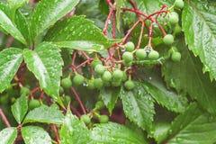 Młoda wiązka winogrona po deszczu Krople woda dodają th obraz royalty free